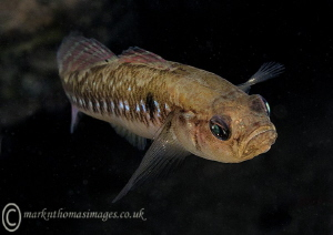 Two-spot Goby.
