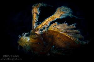 Ambon Scorpionfish backlit-Lembeh. by Richard Goluch