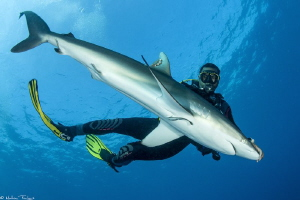 Silky shark tonic immobility by Mathieu Foulquié