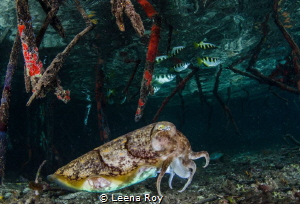 Cuttlefish hunting archer fish in mangroves by Leena Roy