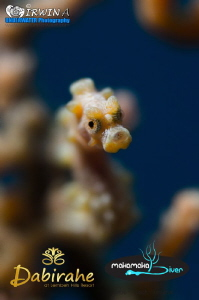 It's always fun to shoot with low aperture. Yellow pygmy... by Irwin Ang