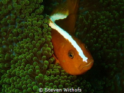 Anemone fish by Steven Withofs