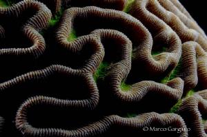 Brain coral by Marco Gargiulo