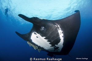 Giant Pacific Manta by Rasmus Raahauge