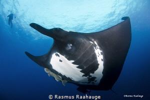 Giant Pacific Manta by Rasmus Raahauge