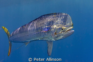 Dorado free swimming with old hook and broken line by Peter Allinson