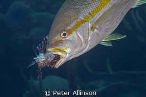 How they manage the lionfish problem in Bonaire by Peter Allinson