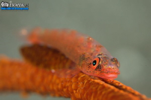 Goby friend with scale worm. Whip coral dwarf goby ( Bry... by Irwin Ang