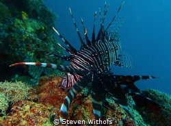 Lion fish by Steven Withofs
