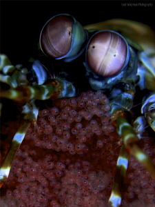 Mantis shrimp with eggs by Iyad Suleyman