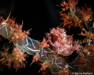 soft coral crab number 3 by Elaine Wallace