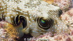 Close up of a puffer fish by Erik Van Doesburg