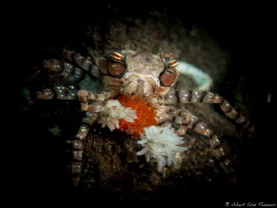 Mosaic Boxer Crab with eggs by Albert Sáiz Tezanos