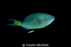 A Stoplight Parrotfish glides through the waters of the R... by David Gilchrist