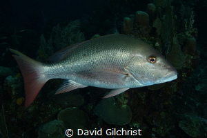 A Mutton Snapper, looking very much like a good supper, i... by David Gilchrist