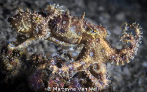 Caught in the act! Mating Blue Ring Octopuses in Lembeh by Marteyne Van Well