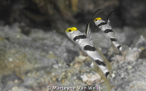 Two Yellow Nose Prawn Goby by Marteyne Van Well