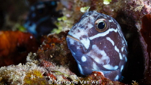 Tribal Blenny poking its head out by Marteyne Van Well