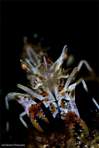 Spiny Tiger Shrimp by Iyad Suleyman