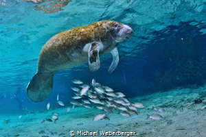 swim with manatees is funny and truly an experience by Michael Weberberger