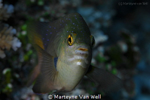 Portrait of a damselfish by Marteyne Van Well