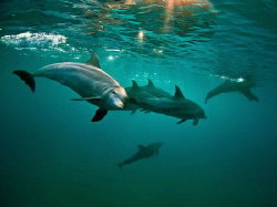 Inshore Indo-Pacific Bottlenose dolphins. Taken with a Ca... by Jenny Strömvoll