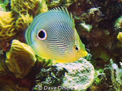 Butterfly Fish  on reef by Dave Difiore