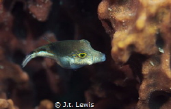 Sharpnose Puffer by J.t. Lewis