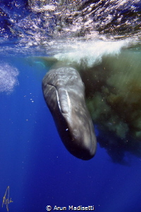 When spooked, a sperm whale will make a huge cloud of poo... by Arun Madisetti