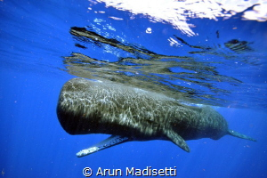 "sperm whales ""listen"" with their lower jaw, this one is t... by Arun Madisetti"