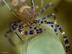 "Spotted Cleaner shrimp ""Vista Blue"" Bonaire NA by John Roach"