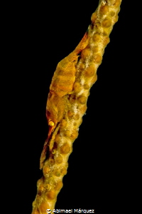 Wire Coral Shrimp by Abimael Márquez