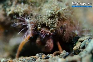 Y O U R - E Y E S  Hermit crab ( Paguroidea ) Anilao, P... by Irwin Ang