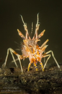 Spiny Tiger Shrimp-Lembeh by Richard Goluch