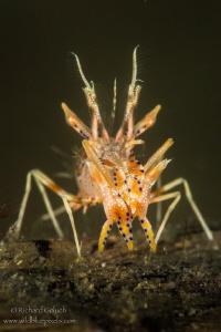 Spiny Tiger Shrimp-Lembeh by Richard Goluch