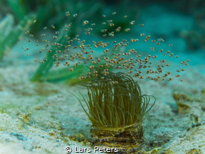 Swarming shrimps (Idiomysis tsurnamali) on top of a tube ... by Lars Peters