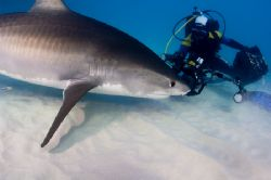 Photographer working with huge Tiger Shark by Karl Dietz