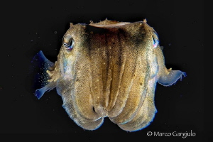 Mediterranean Cuttlefish, night dive by Marco Gargiulo