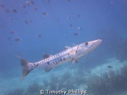Baracuda, Florida Keys by Timothy Phillips