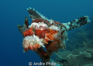 Like a bird on a tree - a Scorpionfish on the top of a sp... by Andre Philip