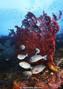 Raja Ampat . Magic reef Nikon D800E, 12/24, two strobo ... by Marchione Giacomo
