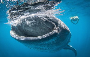 Natural light Whaleshark feeding by Steven Miller