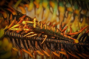 some small shrimp in a crinoid by Steven Miller