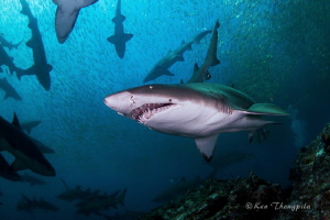 Grey Nurse Sharks at Broughton Island, Nelson Bay, Australia by Ken Thongpila