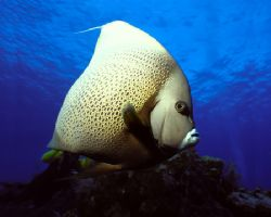 The diver behind this Grey Angelfish chased him for five ... by Michael Canzoniero