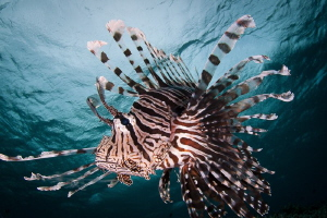 Lionfish pose by Steven Miller