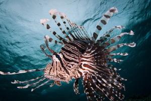 Lionfish pose by Steven Miller