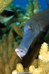 Trumpet Fish, Fakarava. Tuamotus, French Polynesia Canon... by Cangemi Paul
