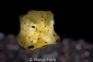 Baby Yellow Cow Fish by Marco Fierli