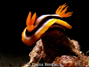 Chromodoris africana